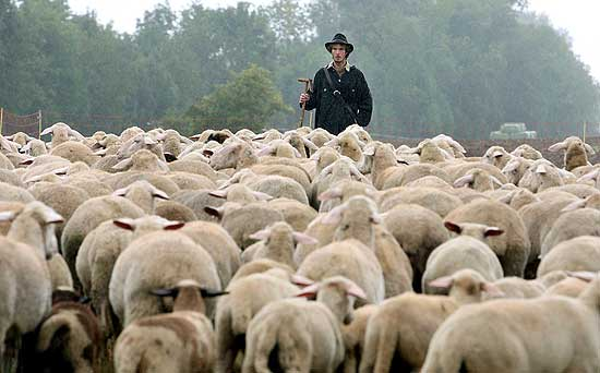 pecore6