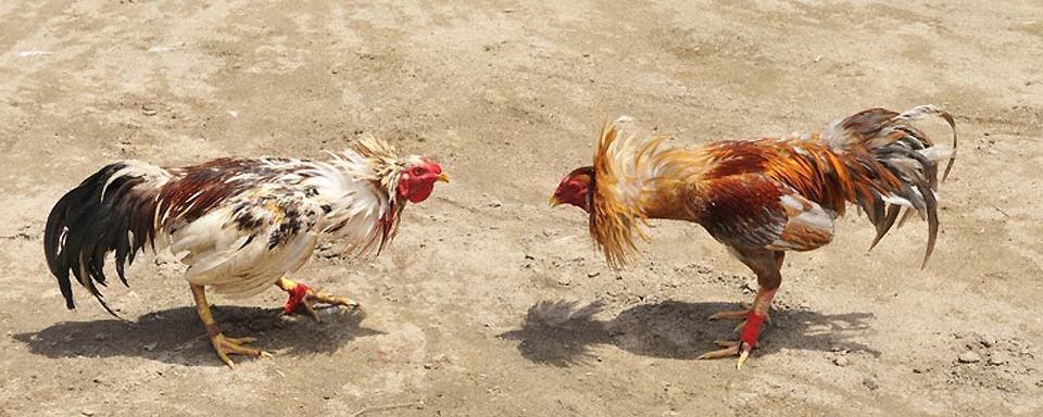 combattimento-galli3
