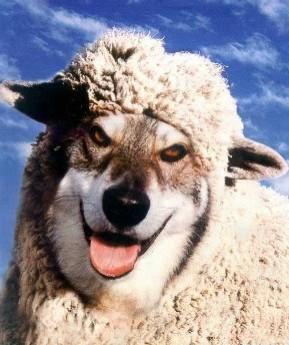 lupo-pecora5