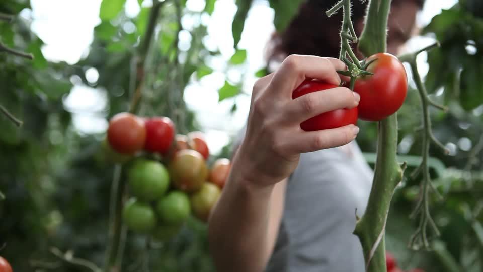 raccolta-pomodori1
